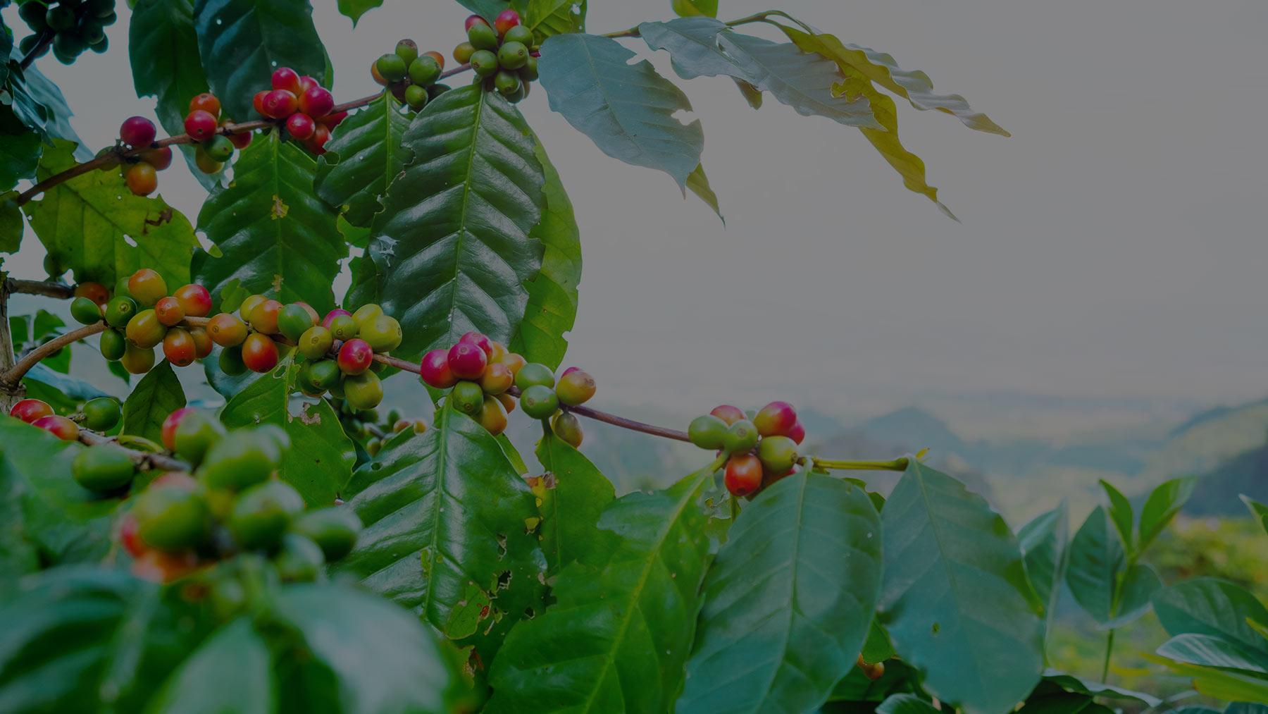 coffee fruit tree
